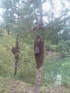 Essaims d'abeilles