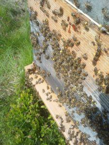 Les Ruchers du Haut-Maine - Abeilles à l'entrée d'une ruche