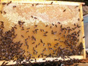 Cadre d'abeilles
