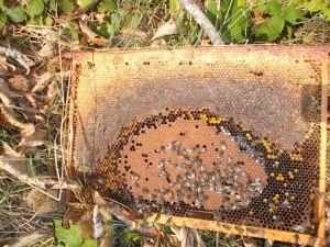 Cadre de miel et couvain