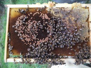 Cadre d'abeilles hybrides