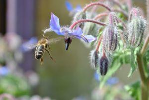 Une abeille butine une fleur de bourrache
