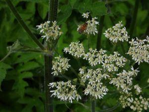 Une abeille sur la berce
