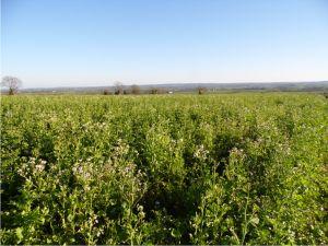 Un champ de radis