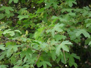 L'érable champêtre (Acer campestre)
