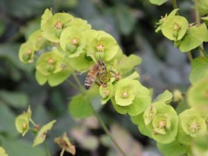 L'euphorbe des bois (Euphorbia amygdaloides)