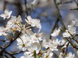 Les fleurs de pommier