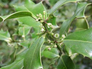 Le houx (Ilex aquifolium)
